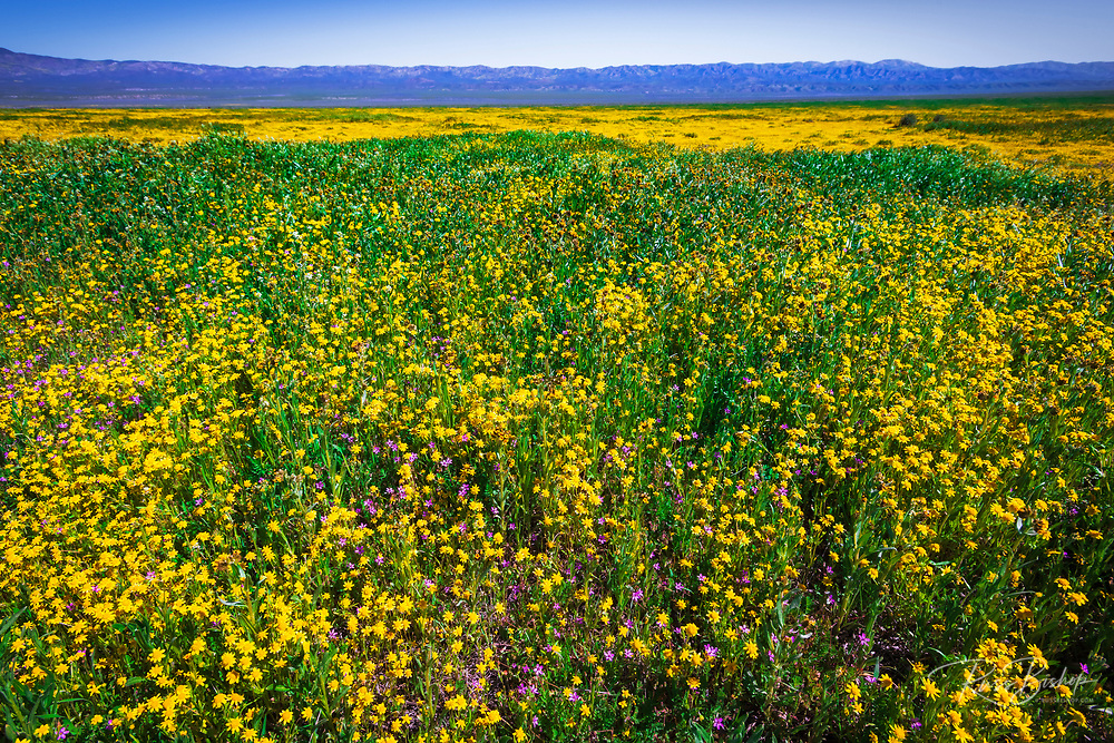 Wildflowers at Carrizo Plain National Monument, California USA