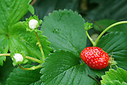 wild red strawberry