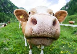 """THEMENBILD - Nach dem wiederholten Angriff von Kühen auf Wanderer ruft die österreichische Landwirtschaftskammer zu höchster Vorsicht auf und warnt vor """"unberechenbaren"""" Kühen. Unser Bild Kuh (Rasse Pinzgauer) blickt in die Linse des Fotografen (Weitwinkelaufnahme), Aufgenommen am 19. Juni 2011 im Kalser Dorfertal. EXPA Pictures © 2014, Photographer: EXPA/ Johann Groder"""