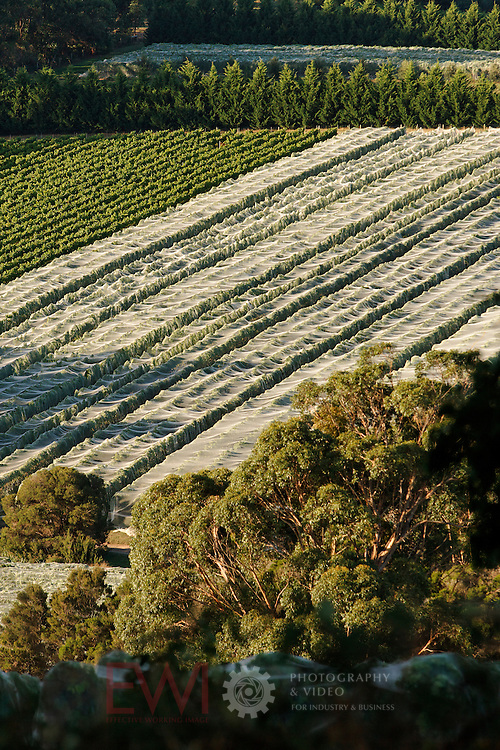 Vinyard, Red Hill Region, Mornington Peninsula, Victoria, Australia..Image protected by copyright.  For usage rights  Contact EFFECTIVE WORKING IMAGE.via our contact page at :..www.photography4business.com