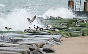 As this flock of Brandt were feeding on the rocks, the waves constantly crashed around them.  Indian River Inlet