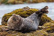 A dark harbor seal (Phoca vitulina richardii) stretches while hauled out on a rock near Ratner Beach in Malibu, California.