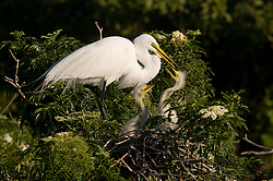 Great egret (Ardea alba) chicks look for food from their parent. The nest is located in the Gatorland alligator breeding marsh and bird sanctuary near Orlando, Florida. The bird sanctuary is the largest and most easily accessible wild wading bird rookery in east central Florida. Great egrets were hunted almost to extinction for its plumage, used by the fashion industry, in the 1800's. The Aududon Society was formed during this period to push for protection for the birds from the fashion industry.