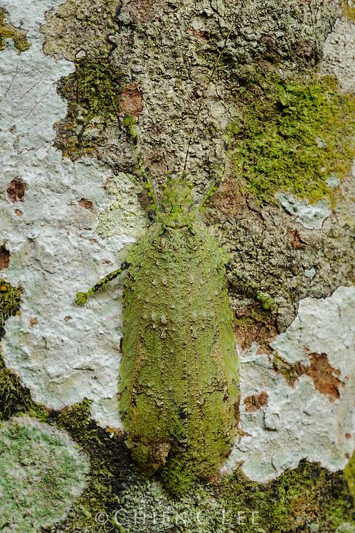 A well-camouflaged leaf katydid (Sathrophylliopsis longepilosa). Sarawak, Malaysia.