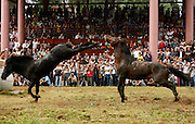 RONGSHUI, CHINA - NOVEMBER 07: (CHINA OUT) <br /> <br /> Tourists and villagers watch two horses fighting each other during a horse fighting festival in Miao Autonomous County of Rongshui on November 7, 2015 in Liuzhou, Guangxi Province of China. The biannual horse fighting contest, a tradition to bless and celebrate harvest, is now a tourist attraction with a long history of more than 500 years. <br /> ©Exclusivepix Media