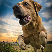 Images of Georgie the Labrador at Stanmer Park. Highlights of images of dogs in the outdoors, by specialist dog photographer Rhian White.