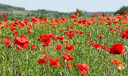 THEMENBILD - Der Klatschmohn (Papaver rhoeas), auch Mohnblume oder Klatschrose genannt, ist eine Pflanzenart aus der Familie der Mohngewächse. Hier im Bild ein Klatschmohnfeld im Hintergrund Breitenbrunn, Aufgenommen am 19.05.2013 in Jois // THEMES IMAGE - Papaver rhoeas (common names include corn poppy, corn rose, field poppy, Flanders poppy, red poppy, red weed, coquelicot, and, due to its odour, which is said to cause them, as headache and headwark) is a species of flowering plant in the poppy family. In this Image a poppy field in the background the austrian village Breitenbrunn near Neusiedlersee, pictured on 2013/05/19. EXPA Pictures © 2013, PhotoCredit: EXPA/ Johann Groder