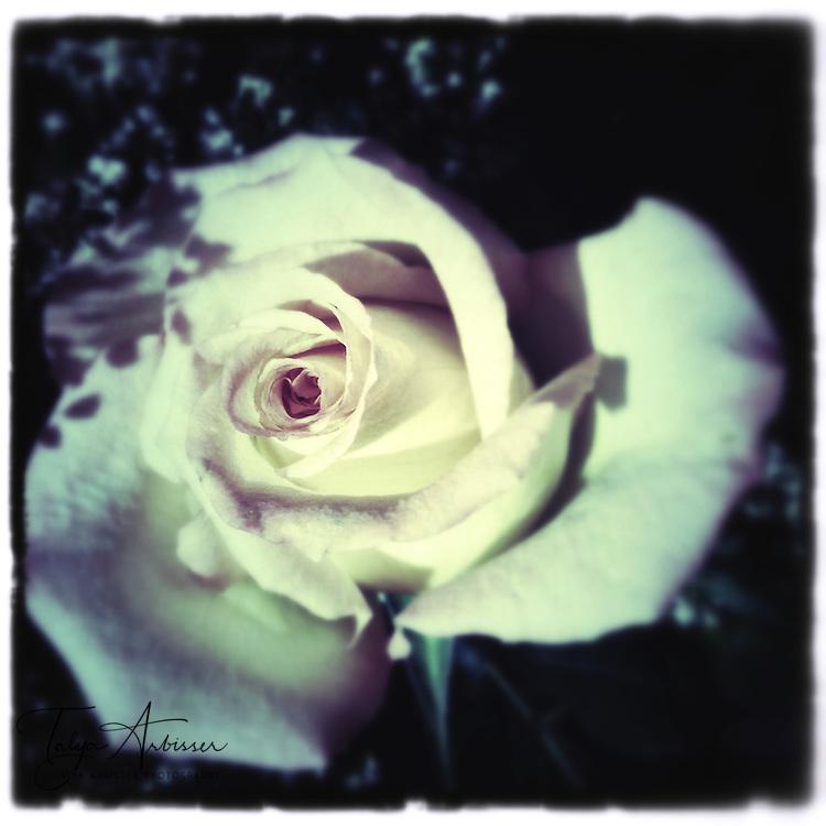 Monotone rose - Humble, Texas