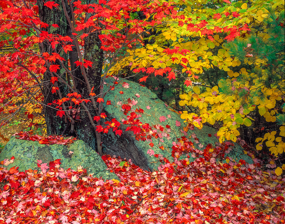 Fall colors, Red Maple and Witch Hazel with large split boulder, Warner, NH