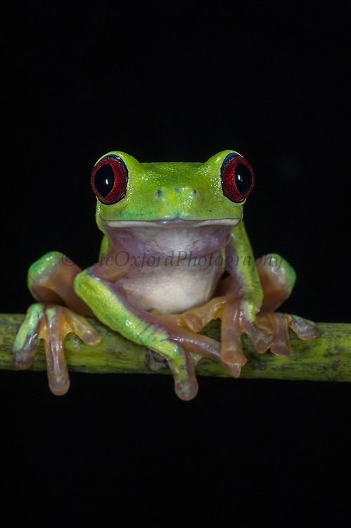 Gliding Leaf Frog (Agalychnis spurrelli)<br /> CAPTIVE<br /> Chocó Region of northwest Ecuador<br /> ECUADOR. South America<br /> Threatened species due to habitat loss.<br /> RANGE: Colombia, Costa Rica, NW Ecuador, Panama,  Tropical and subtropical humid lowlands. 15-750m.<br /> CITES II