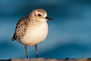 Black-bellied Plover, Pluvialis squatarola, nonbreeding plumage, Barnegat Light, New Jersey