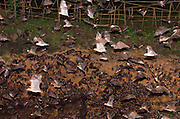"""Exclusive<br /> The cave with 1.7 million bats!<br /> """"Some of you might shiver at the thought, some will just shrug and think, 'that's just a natural occurrence, a fact of life'. Now imagine a million bats… or 1.8 million to be exact… could you fathom such an abundance of warm-bloodied creatures flying above your head? As amazing as that might sound, it is also a real and true happening at the Island Garden City of Samal. The Rousetteus amplexicaudatus, or Geoffrey's Rousette Fruit Bat, along with 1.8 million of its relatives and friends, has made its home at the Monfort Bat Cave that lies in a 24-hectare property owned by Norma Monfort."""" <br /> ©Norma Monfort/Exclusivepix"""