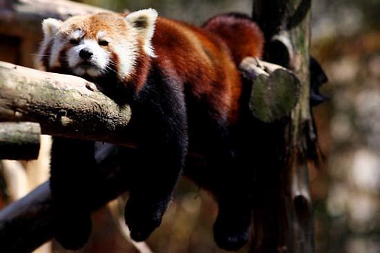 Red Panda (Ailurus fulgens) - Philadelphia Zoo