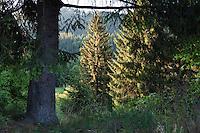 Spruce Forest in Nizke Tatry National park near Liptowsky Hradok, Slovakia