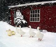 Winter chicken house
