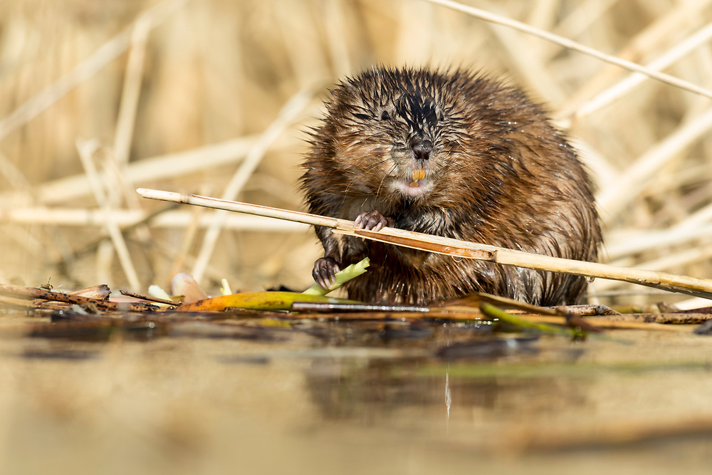Muskrat, Ondatra zibethicus, Saginaw Bay, Michigan