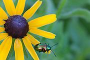 Dogbane Beetle; Chrysochus auratus; on Black-eyed Susan; Rudbeckia hirta;  PA, Philadelphia; Wissahickon Park, Houston Meadow;