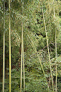 lush bamboo vegetation Japan