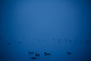 Canadian geese spend time on Alcyon Lake in Pitman, NJ on a foggy autumn morning.