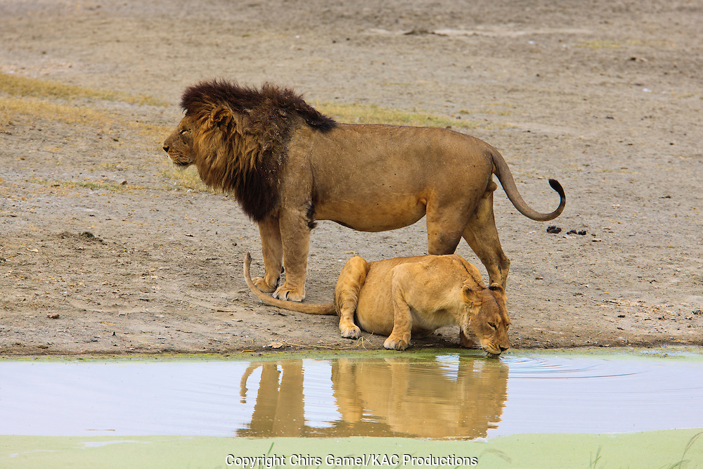 Female lion drinking water with male lion standing behind her.