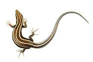 Southeastern Five-lined Skink (Plestiodon inexpectatus) - female<br /> United States: Alabama: Tuscaloosa Co.<br /> Tulip Tree Springs off Echola Rd.; Elrod<br /> 28-Apr-2017<br /> J.C. Abbott #2941