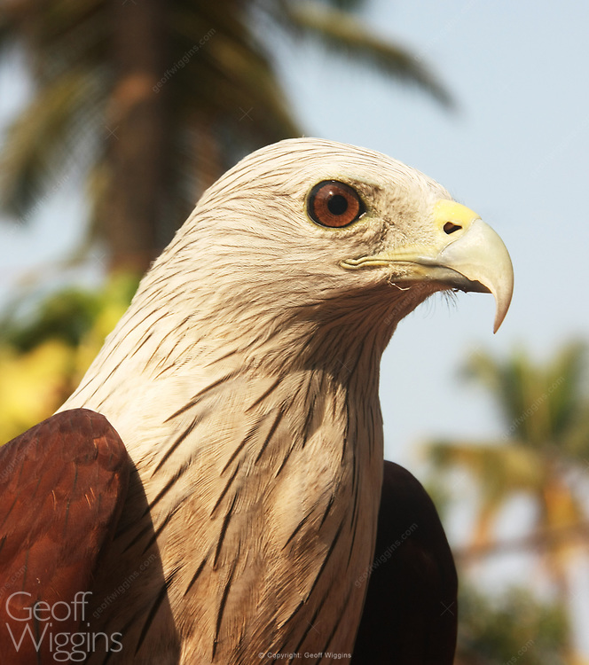 Red-backed Sea-eagle (Haliastur indus) also known as the Brahminy Kite, in Kerala, India