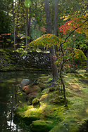 Autumn colour on an Acer tree and lush moss on an island in the Saiho-ji Garden (Temple of Moss) Kyoto,  Japan