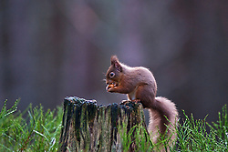 A Red Squirrel sits on a tree stump eating a nut in the forest of the Cairngorms National Park in Scotland