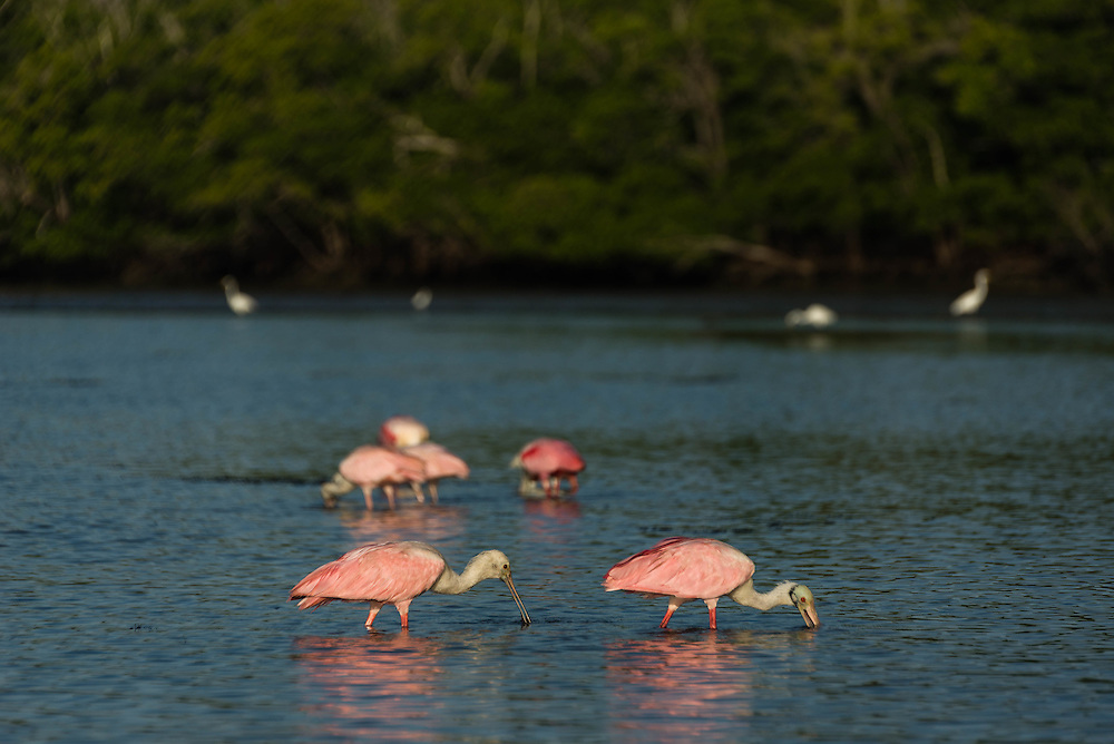 Roseate Spoonbills feed during low tide in Lane Cove, Florida Everglades