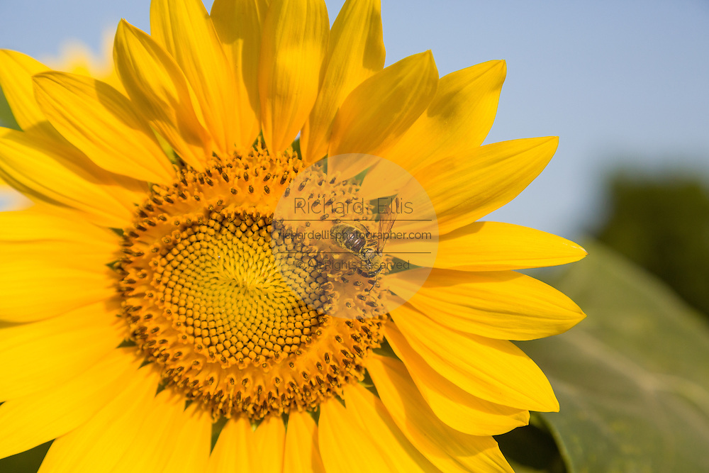 A wild honey bee pollinates a sunflower blooming at Botany Bay Plantation in Edisto Island, South Carolina.