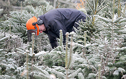© under license to London News Pictures. 28/11/2010. Stephen Jones a traditional woodsman starts the harvest of Christmas Trees at The Christmas Tree Farm in Chesham. Mr Jones has worked at the farm for ten seasons along with his two shire horses Bassie (19) and Morfa (12). Together they gather thousands of trees from the farm before delivering them to be sold by staff at the farms shop. Staff at the Christmas Tree Farm open for business a week early today (Sunday) to take advantage of the good Christmas cheers brought on by the Winter Weather. The Christmas Tree Farm, Chesham,  have been retailing Christmas trees for 22 years and growing them for 18 years. Photo credit should read: Stephen Simpson/LNP