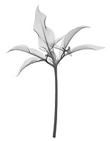 X-ray image of a dragon arum leaf (Dracunculus vulgaris, black on white) by Jim Wehtje, specialist in x-ray art and design images.