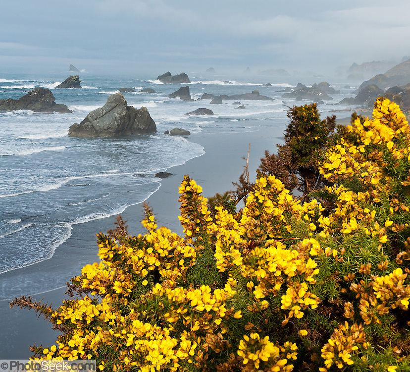 Invasive gorse blooms yellow in February at Harris Beach State Park, on US Highway 101, north of Brookings, Curry County, Oregon, USA. The Pacific Ocean carves sea stacks from coastal cliffs. Stitched from 2 overlapping images.