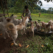 Small boy feeding the family dogs at Barangay Tagibinet, Puerto Princesa, Palawan, The Philippines.<br />