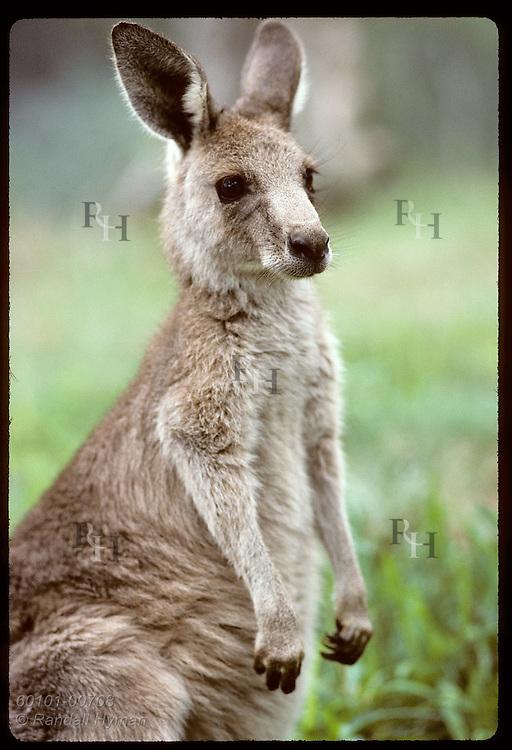 Smallest and furriest of the kangaroos, this wallaroo, or euro, gazes ahead in zoo; Wagga, NSW. Australia