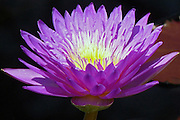 "Day-blooming waterlily rises above a purple leaf and features purple petals and lavender-tipped yellow anthers characteristic of the ""Ultra Violet"" cultivar found at Longwood Gardens, July 2010."