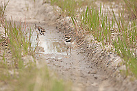 Young Killdeer chick explores its new surroundings around the nest safety is in the tall grass.