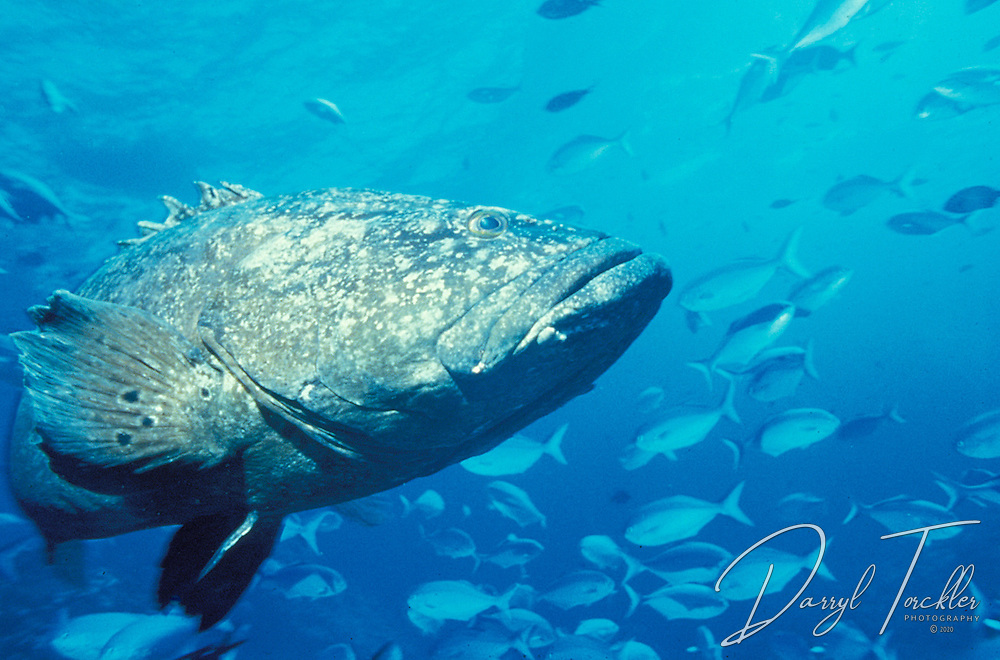 Spotted black grouper: Epinephelus daemelii,  with a school of  Blue maomao in background off Raoul island, Kermadec Islands. New Zealand