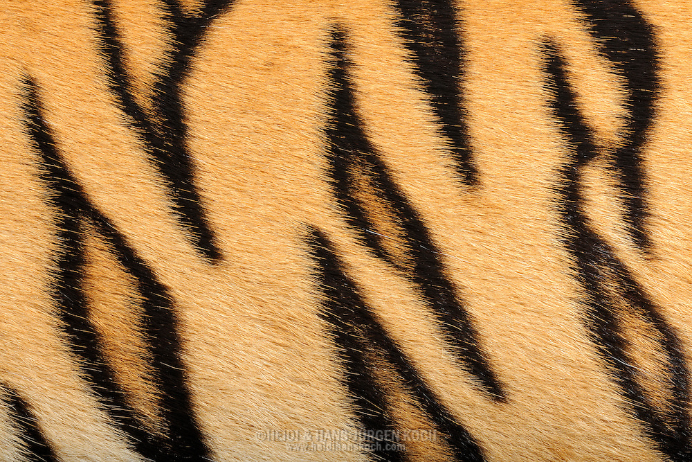 "Tiger (Sumatran Tiger)(Panthera tigris), close-up coat, the tiger is one of the big cats and is native to Asia. He is the greatest of all big cats. The basic color of the tiger fur ranges from pale yellow to orange to a dark ocher. The characteristic of the basic color dependents on habitat and subspecies (for example Siberian tiger's coat is brighter than coat of conspecifics in warmer areas). Parts of the face, neck, leg inside, chest and belly fur is white to cream-colored. Also the length and thickness of fur differs in dependence on subspecies and habitat. (the colder the thicker and longer the coat). The most stricking feature is the striped coat pattern. The stripes having different shades of brown to black. The different subspecies also differ in color and number of stripes. It is very difficult to tell the subspecies by their coat patterns from each other, because coat color and stripe pattern also vary within a subspecies. The coat pattern is for camouflage. Frankfurt am Main, Hesse, Germany.This picture is part of the series ""Creature's Coiffure""..Tiger (Sumatra-Tiger) (Panthera tigris), Fellausschnitt eines Tigers. Der Tiger gehoert zu den Grosskatzen und ist in Asien beheimatet. Er ist die groesste aller Raubkatzen. Die Grundfarbe des Tigerfells reicht von strohgelb ueber orange bis zu einem dunklen Ockerfarbton. Die Auspraegung der Grundfarbe ist dabei abhaengig von Lebensraum und Unterart. (z.B. faellt die Fellfaerbung des Sibirischen Tigers heller aus als die seiner in waermeren Gefilden lebenden Artgenossen.) An Teilen von Gesicht, Hals, Beininnenseiten, Brust und Bauch ist das Fell weiss bis cremefarben. Auch die Laenge und Dichte des Fells unterscheidet sich in Abhaengigkeit von Unterart und Lebensraum. (Je kaelter es wird, desto dichter und laenger muss das Fell sein.) Doch das auffaelligste Tigermerkmal ist die gestreifte Fellzeichnung. Dabei nehmen die Streifen unterschiedlichste Brauntoene bis hin zu Schwarz an. Die jeweiligen Unterarten unter"