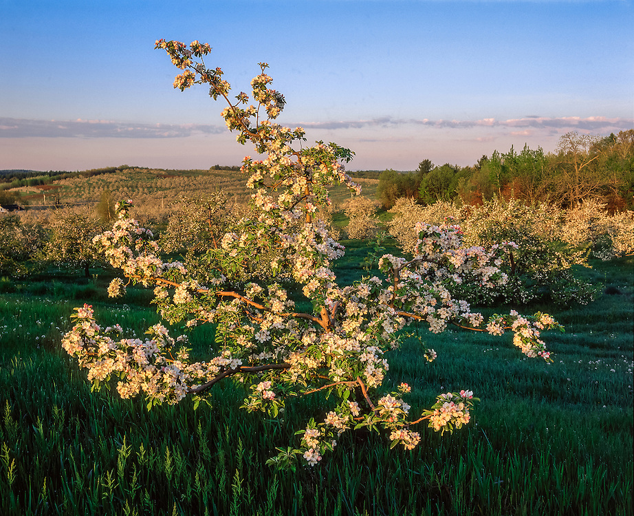 Apple tree in bloom in spring, with early am light & orchard on hillside, Hollis, NH