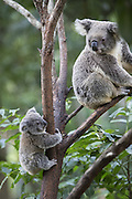 Koala <br /> Phascolarctos cinereus<br /> Ten-month-old joey climbing and exploring<br /> Queensland, Australia<br /> *Captive