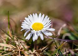 THEMENBILD - das Gänseblümchen (Bellis perennis) zählt zu den bekanntesten Pflanzenarten Mitteleuropas, aufgenommen am 17. März 2019, Kaprun, Österreich // the daisy (Bellis perennis) is one of the best-known plant species in Central Europe on 2019/03/17, Kaprun, Austria. EXPA Pictures © 2019, PhotoCredit: EXPA/ Stefanie Oberhauser
