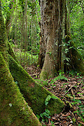 Cloud Forest at Baru National Park, Baru Volcano, Highlands, Chiriqui province, Panama, Central America