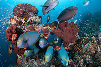 "Surgeonfish and Snappers congregate at a cleaning station.<br /> <br /> Shot at Cape Kri, Raja Ampat Islands, W. Papua Province, Indonesia<br /> <br /> Cape Kri is one of the ""fishiest"" dives in the world.  Given its protection in the Raja Ampat Marine Protected Area, as well as its proximity to a resort that does a great job of ""policing"" the adjacent areas, this reef is among the healthiest in the Coral Triangle."