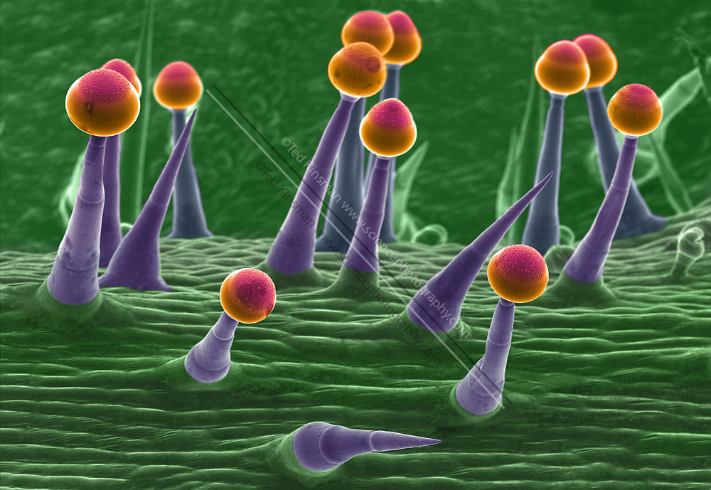 Scanning Electron Micrograph (SEM) of pumpkin skin(Cucurbita sp.). Magnification was 100x and the field of view of this image is 2mm wide. The stalked structures are trichomes (leaf hairs) on the under side of the pumpkin leaf.
