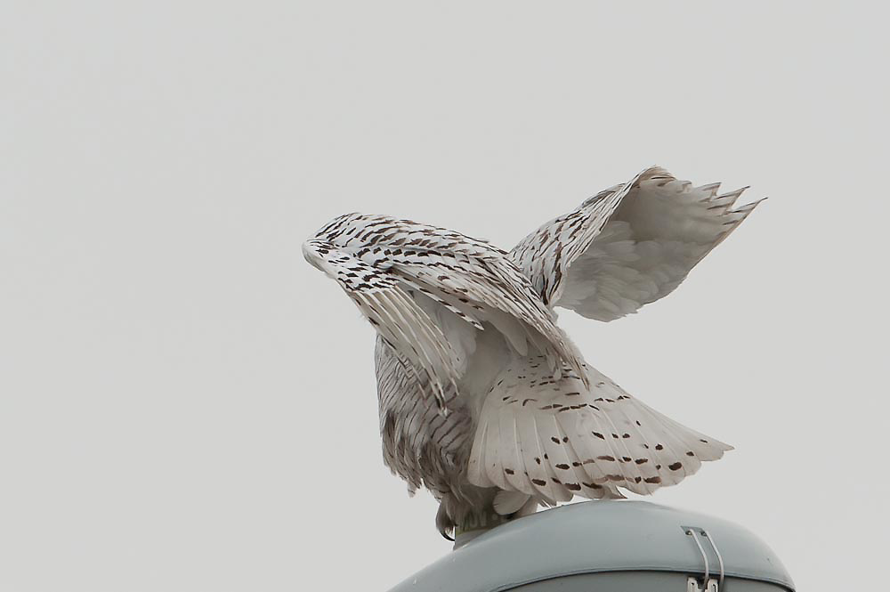 Snowy Owl Wing fold Snowy Owl Wing Fold Syracuse Airport