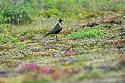 American Golden-Plover<br /> (Pluvialis dominica) on tundra<br />Churchill<br />Manitoba<br />Canada