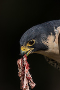 Peregrine Falcon tears apart prey at the Center for Birds of Prey November 15, 2015 in Awendaw, SC.