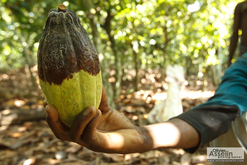 Severin Kouadio Kouakou holds a diseased cocoa pod on his friend Daniel's cocoa plantation near the town of Moussadougou, Bas-Sassandra region, Cote d'Ivoire on Monday March 5, 2012.