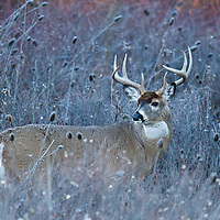 fall whitetail buck in brush
